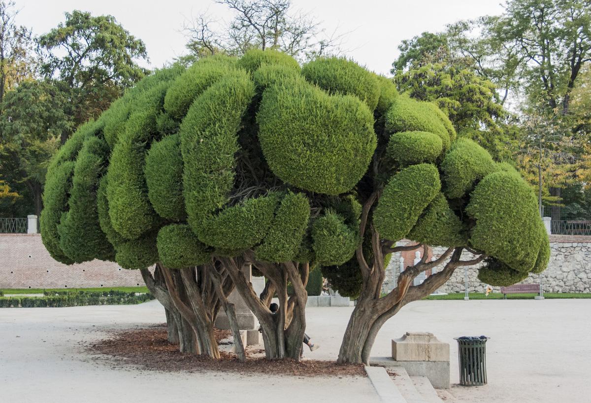 La historia de los cipreses de el retiro david jim nez for Tipos de pinos para jardin fotos